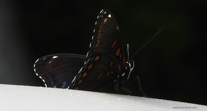 Butterfly (Astyanax Red-spotted Purple) riding shotgun on our van roof
