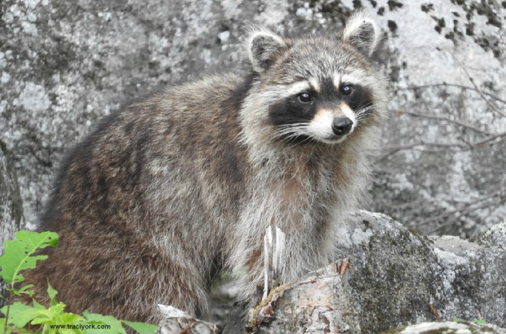 Shy racoon finally poses for pictures
