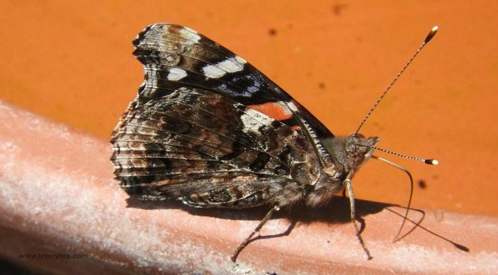 Foto Friday 18 Butterfly on the bird bath