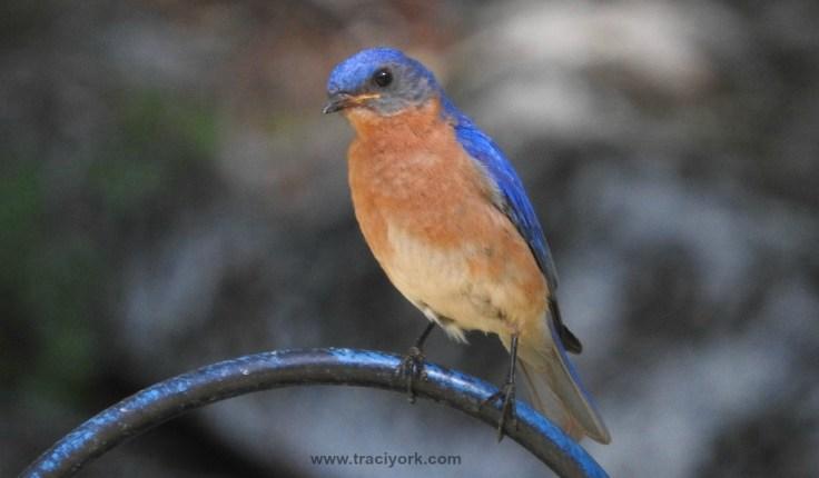 Curious Bluebird