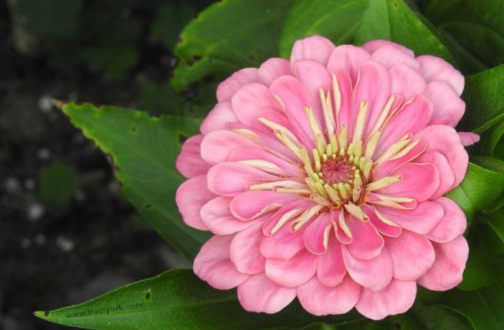 Pink flower looking like a watercolor