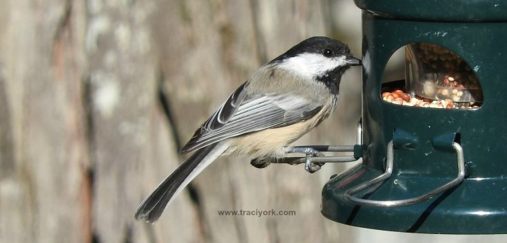 Black-capped chickadee approves of the new feeder
