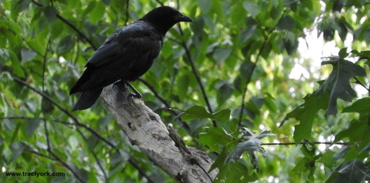 The hummingbirds are leaving, but the crows are returning!