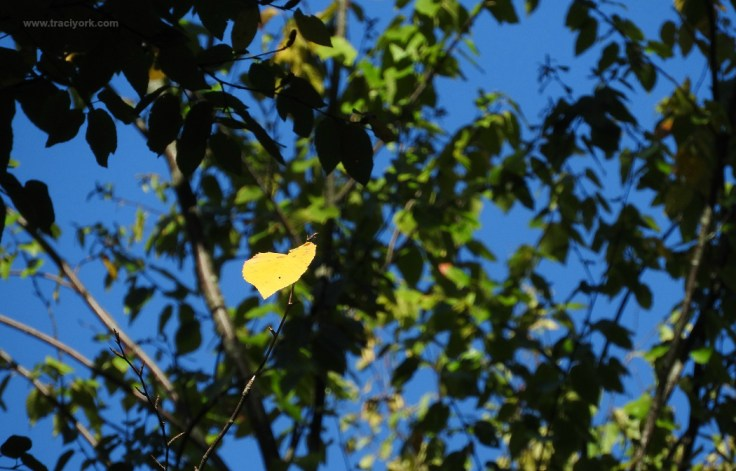 Yellow heart leaf
