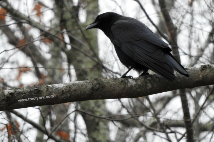 Another crow friend