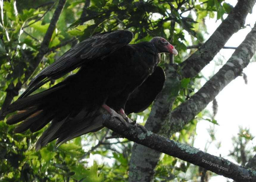 Turkey Vulture, Chipmunks, and the Moon