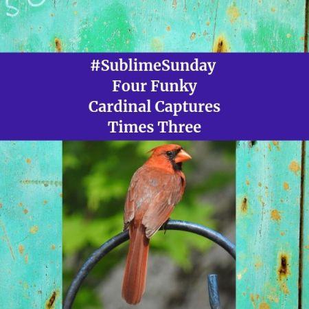 SublimeSunday Four Funky Cardinal Captures Times Three blog thumbnail