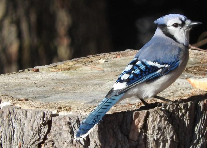 Feathered Friday 12 Blue Jay Photos