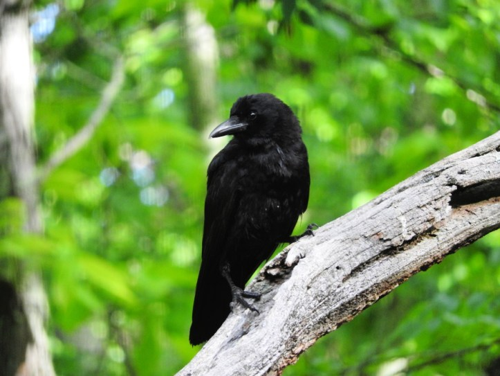 crow visits in June 2017