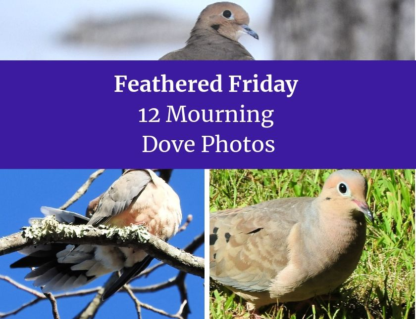 Feathered Friday 12 Mourning Dove Photos Photos