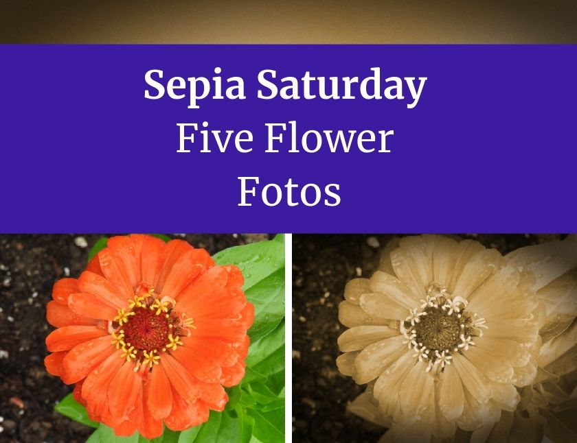 Sepia Saturday Five Flower Fotos blog thumbnail