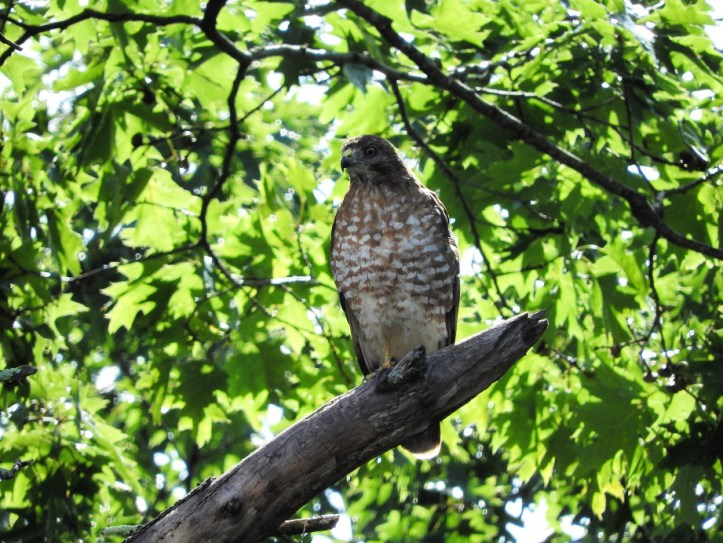 Cooper's Hawk visit