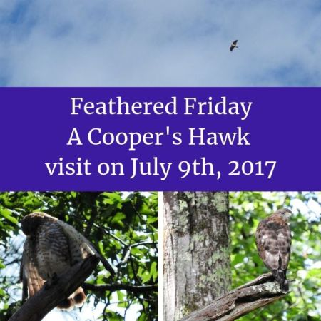 Feathered Friday - A Cooper's Hawk visit on July 9th, 2017