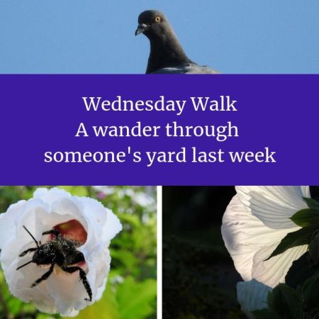 Wednesday Walk - A wander through someone's yard last week blog thumbnail