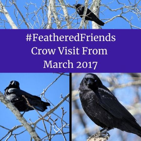 #FeatheredFriends - Crow Visit From March 2017 blog thumbnail