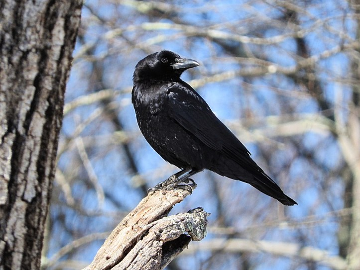 Crow Visit From March 2017