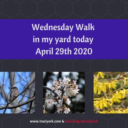 Wednesday Walk in my yard today April 29th 2020 blog thumbnail