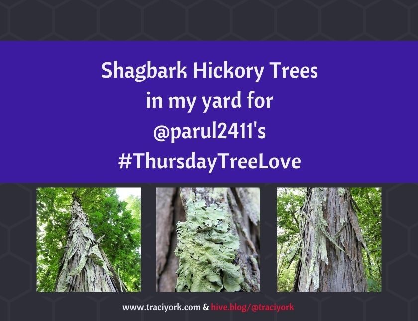 Shagbark Hickory Trees in my yard blog thumbnail