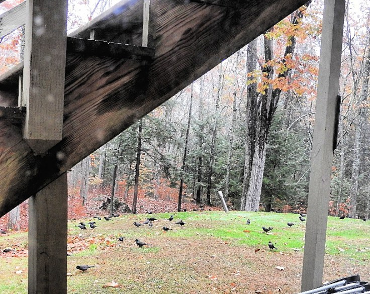 Annoyance of Grackles visit on a stormy October day