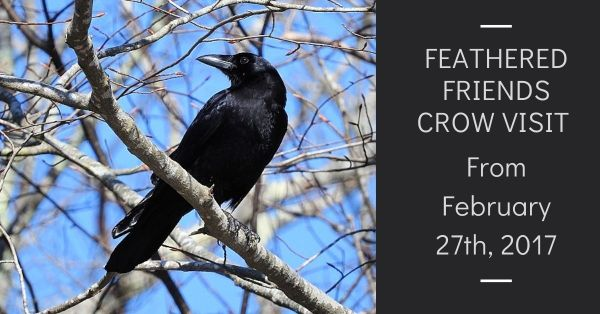 Feathered Friends Crow Visit From February 27th, 2017 blog thumbnail