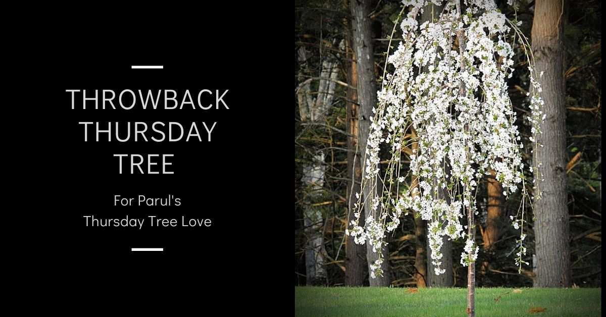 Throwback Thursday Tree blog thumbnail