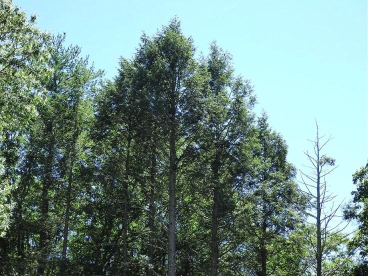 Green Solstice Trees