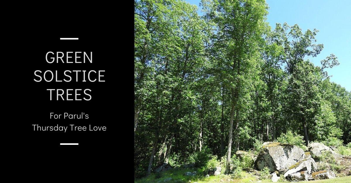 Green Solstice Trees for @parul2411's Thursday Tree Love blog thumbnail