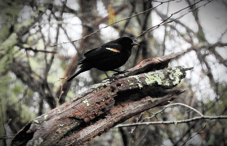 In memory of a tree branch Red-winged Blackbird