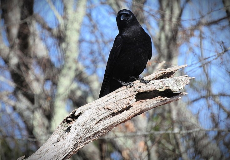 """In memory of a tree branch crow I call """"my"""" crow, named Angel"""