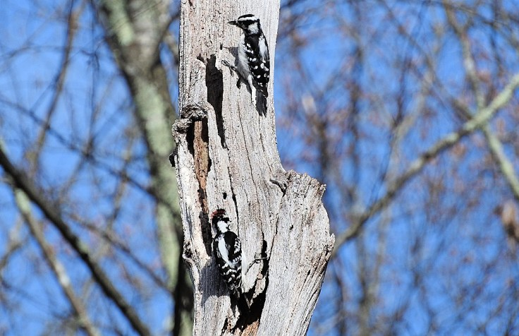 In memory of a tree branch Pair of Downy Woodpeckers