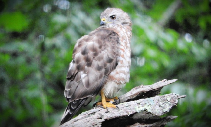 In memory of a tree branch Adult Broad-winged Hawk