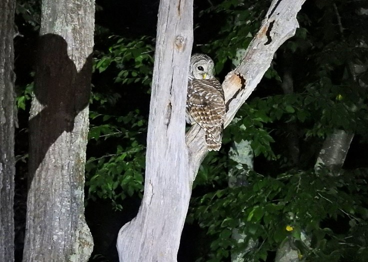In memory of a tree branch Barred Owl