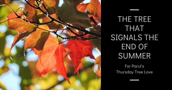 The tree that signals the end of summer Thursday Tree Love blog thumbnail
