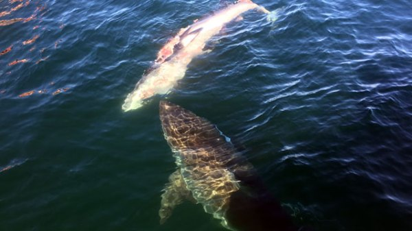 18ft Great White Shark Spotted Off Carolina Coast ...