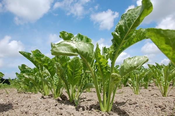 Remolacha azucarera cultivada en líneas