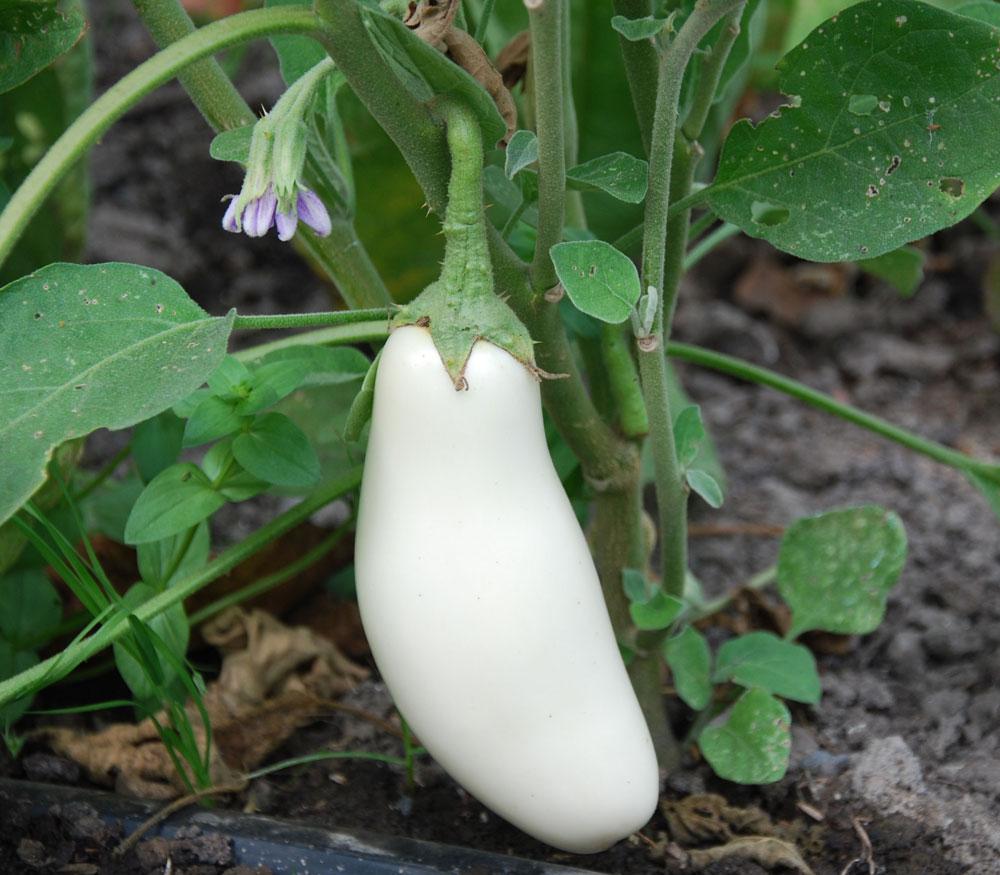 Image result for white eggplant