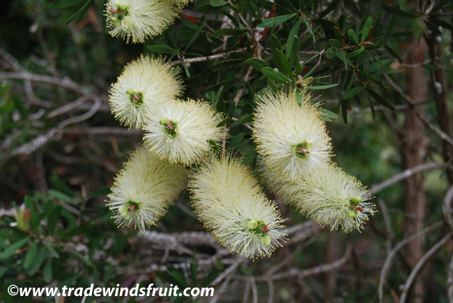 Lemon Bottlebrush Callistemon Pallidus