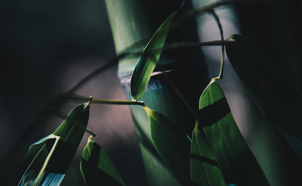 Växter - bambu