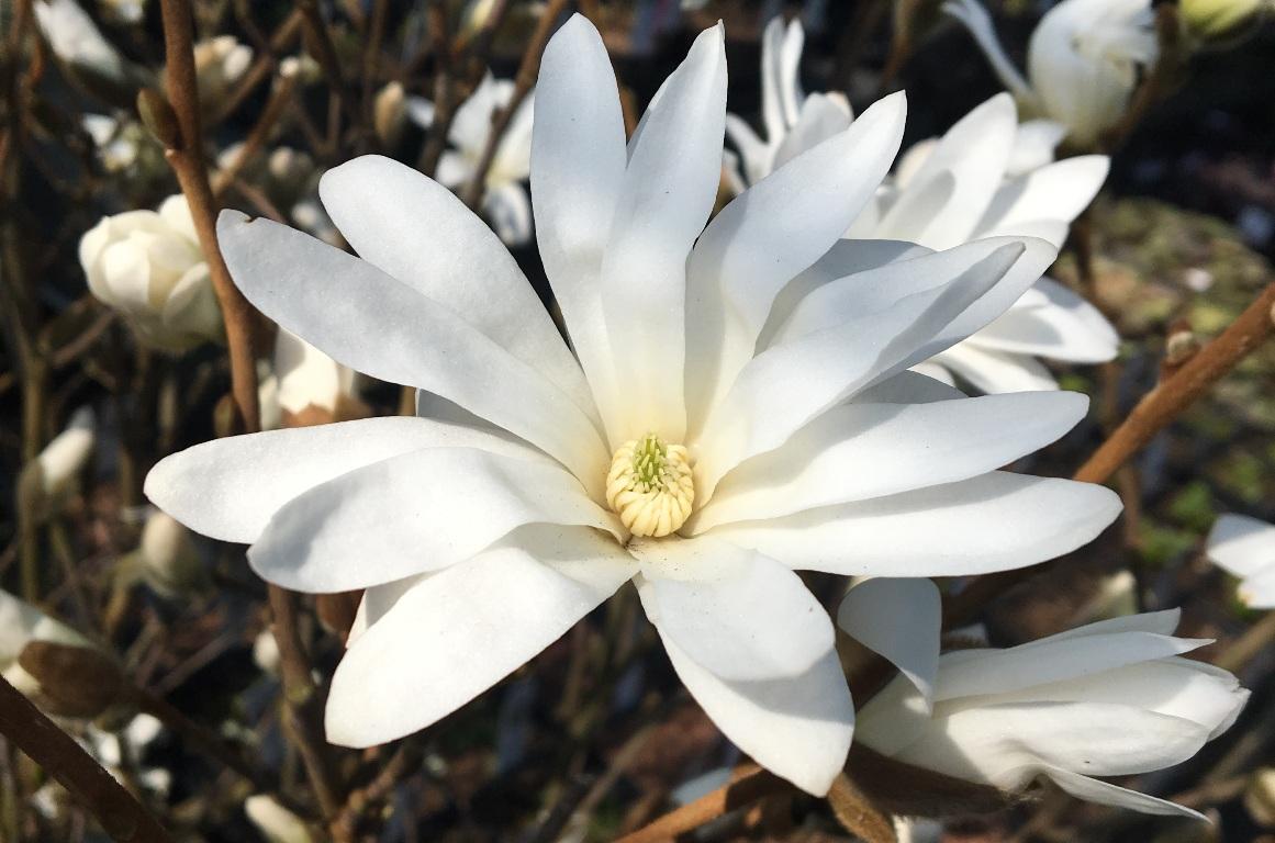 Trädgård - Magnolia
