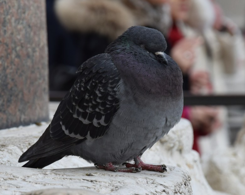 venice carnival - pigeon taking a nap at st. marks square