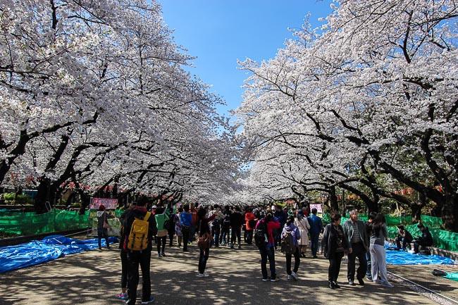 Fioritura al parco di Ueno, Tokyo.  Foto tratta da www.japan-guide.com