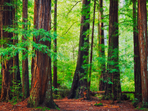 Redwoods-from-Canva