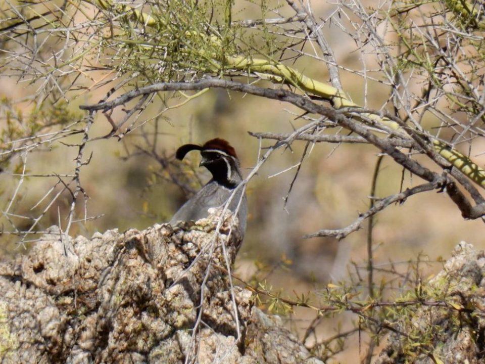 Gambel's quail