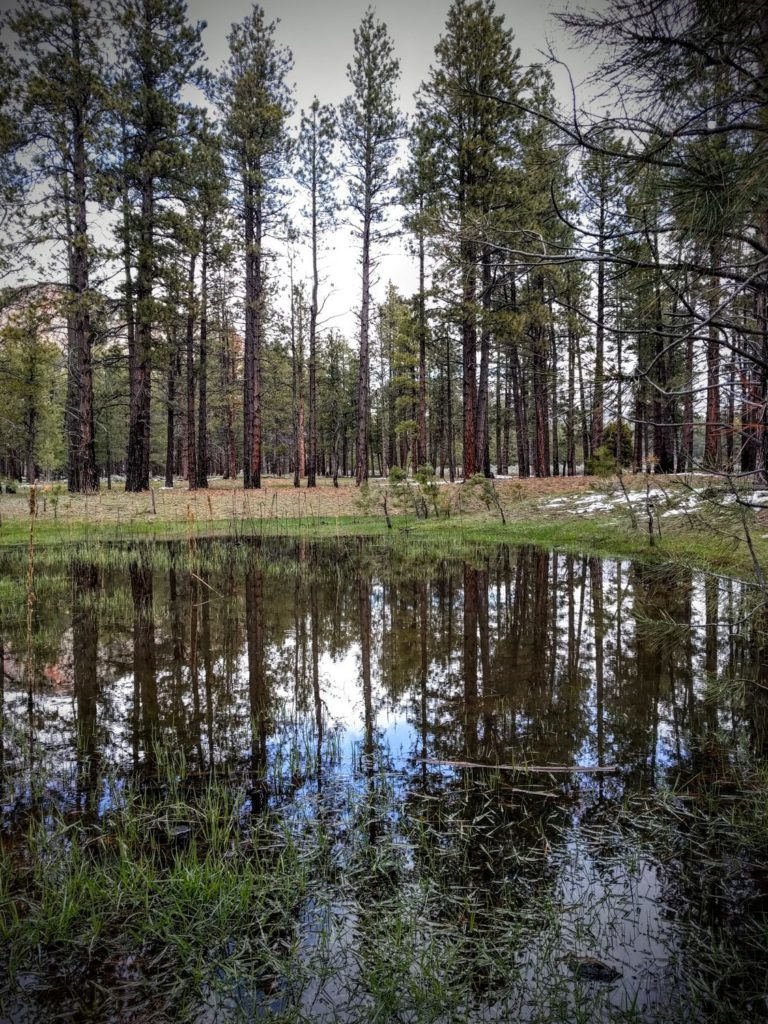 Pinion Pine Grow Tall and the Water flows Fresh with Snowmelt