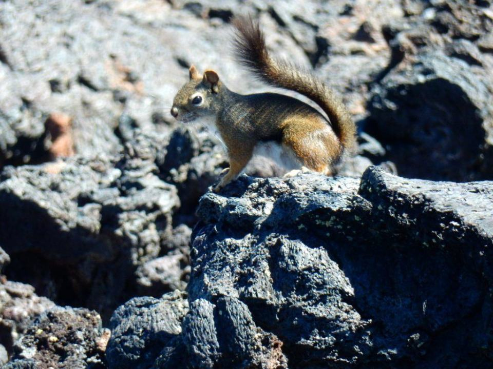 Squirrel! Lots of nooks and holes to hide among the lava flow.