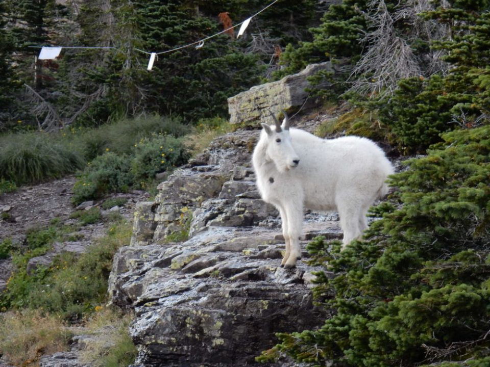 Mountain Goat with Radio Collar