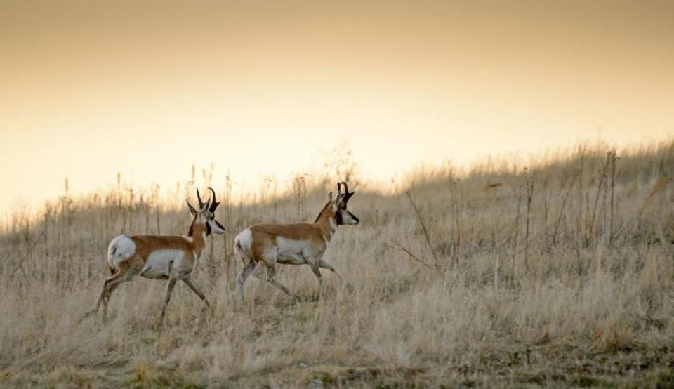 Pronghorn roaming among the grass