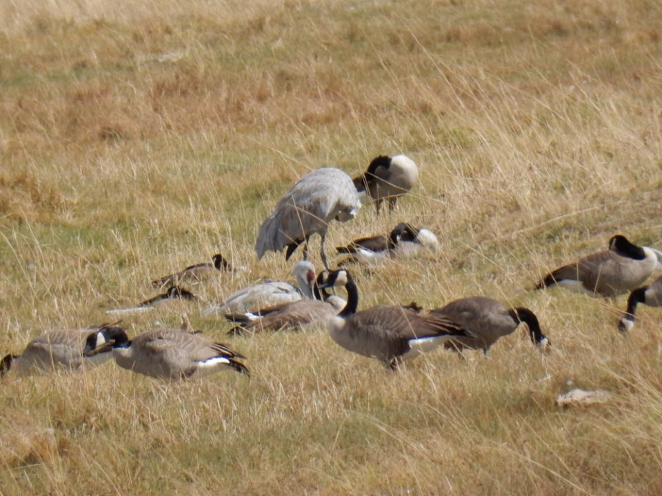Monte Vista Sand Hill Cranes and Canadian Geese