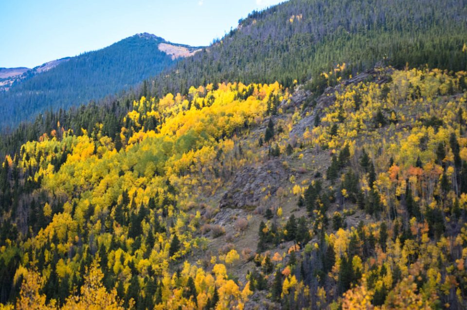Aspens on a mountain side