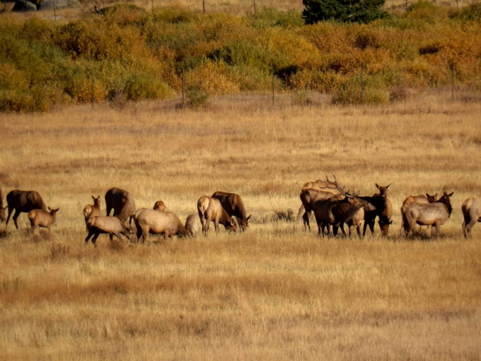 Elk Herd in October